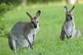 Картинка природа, фон, кенгуру