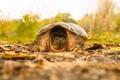 Картинка природа, фон, черепаха