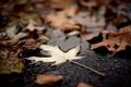 Картинка осень, листья, макро, фон, widescreen, обои, листик
