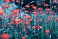 Картинка поле, красный, мак