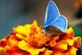Картинка цветок, макро, оранжевый, бабочка, голубянка