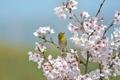 Картинка сакура, птица, ветки, японская белоглазка