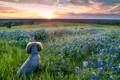 Картинка поле, закат, цветы, собака