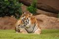 Картинка лужайка, Тигрица, отдых