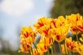 Картинка желтые, тюльпаны, красные прожилки