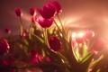 Картинка фон, свет, тюльпаны