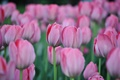 Картинка растения, тюльпаны, цветы, весна