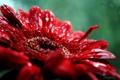 Картинка Макро, Цветы, Природа, Роса