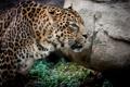 Картинка кошка, камень, леопард, профиль