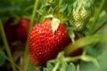 Картинка ягода, клубника, красный