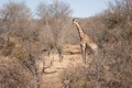 Картинка природа, фон, жирафа