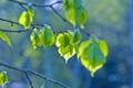 Картинка зелень, листья, свежесть, ветки, веточка, дерево, ветка
