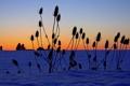 Картинка зима, поле, небо, трава, снег, растение, горизонт