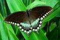 Картинка тропики, бабочка, листва, парусник