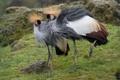 Картинка птицы, пара, венценосные журавли