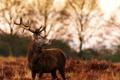 Картинка осень, олень, рога, профиль
