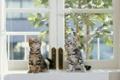 Картинка окно, котята, занавеска, листики, полосатые
