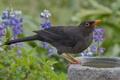 Картинка цветы, птица, дрозд