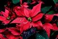 Картинка капли, цветы, пуансетия, рождественская звезда