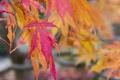 Картинка листья, осень, багрянец, дерево, клен