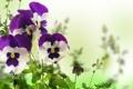 Картинка violet, white background, Viola, garden, yellow, анютины глазки, цветы
