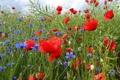Картинка поле, небо, трава, цветы, маки, лепестки, луг