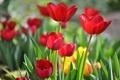 Картинка лепестки, тюльпаны, красные