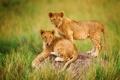 Картинка Африка, львы, львята