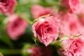 Картинка макро, цветы, розы, лепестки, розовые