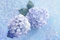 Картинка цветы, голубые, нежно
