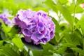 Картинка листья, цветы, куст, цветение, цветки, фиолетовая гортензия
