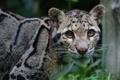 Картинка дымчатый леопард, дикая кошка, морда, хищник