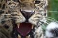 Картинка морда, хищник, клыки, дикая кошка, амурский леопард