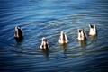 Картинка вода, птицы, утки, синхронное плавание