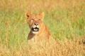 Картинка взгляд, морда, хищник, лев, саванна, львица