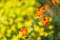 Картинка оранжевый, цветы, зелень, макро, боке