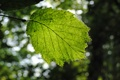 Картинка зелень, лето, листья, природа, листва, листок, весна
