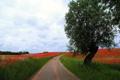 Картинка дорога, поле, лето, пейзаж, дерево, маки