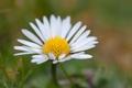 Картинка цветок, лето, макро, ромашка