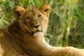Картинка взгляд, отдых, хищник, лев