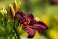 Картинка лето, цветы, лилия, красота, цветение