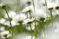 Картинка поле, цветы, природа, стебли, ромашки, лепестки
