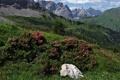 Картинка Alps, камень, Austria, рододендроны, кусты, Австрия, Karwendel