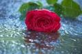 Картинка цветок, вода, капли, дождь, роза, красная