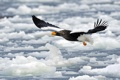 Картинка птица, лед, крылья, полет, клюв
