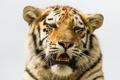Картинка кошка, взгляд, морда, тигр, амурский тигр