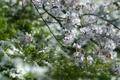 Картинка трава, цветы, дерево, весна, белые, цветение