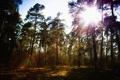 Картинка лес, небо, солнце, деревья, сосны