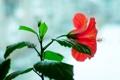 Картинка цветок, цветы, красный, окно, цветет, гибискус