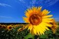 Картинка поле, небо, цветы, цвет, подсолнух